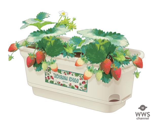 橘ケンチ(EXILE)、グルメいちご館前田とコラボで〈橘イチゴ〉をリリース!「未来の農業や日本の活性化のために一緒に歩んでいきたい。」